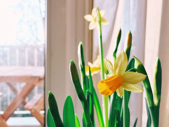 Close-up of yellow flower blooming in window