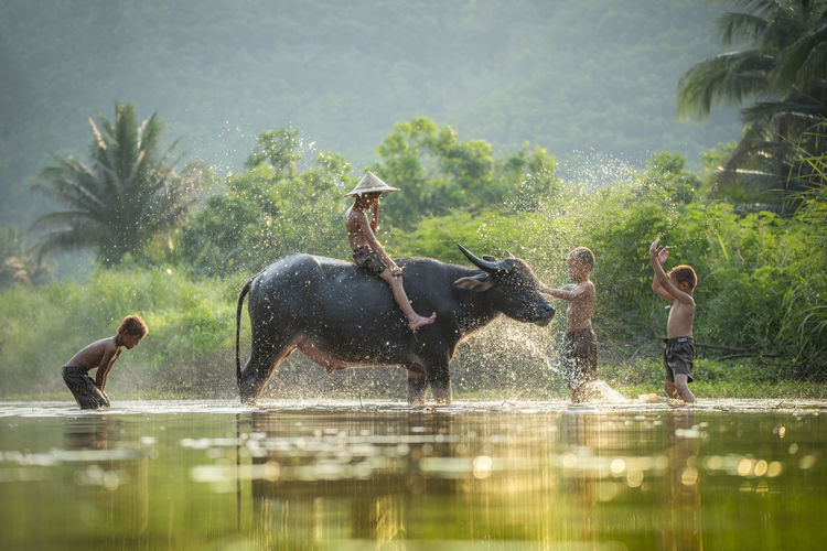 Boys playing with cow in river