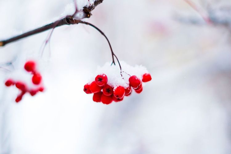 Berry's under snow EyeEm Selects Red Beauty In Nature Nature Rose Hip Outdoors Fruit Day Rowanberry Winter Freshness Cold Temperature No People Tree Branch