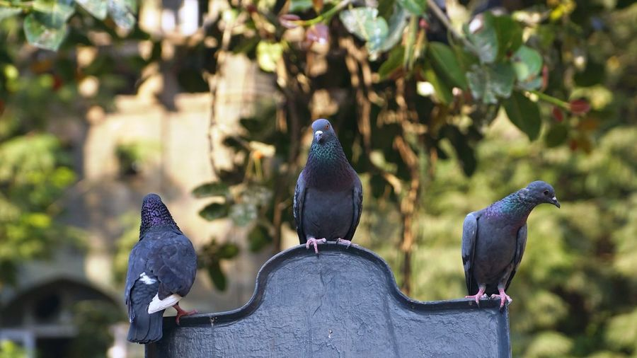 Bird Vertebrate Animal Themes Animal Animal Wildlife Animals In The Wild Group Of Animals Focus On Foreground Perching Pigeon Day No People Nature Outdoors Close-up Two Animals Gray Black Color Three Pigeon