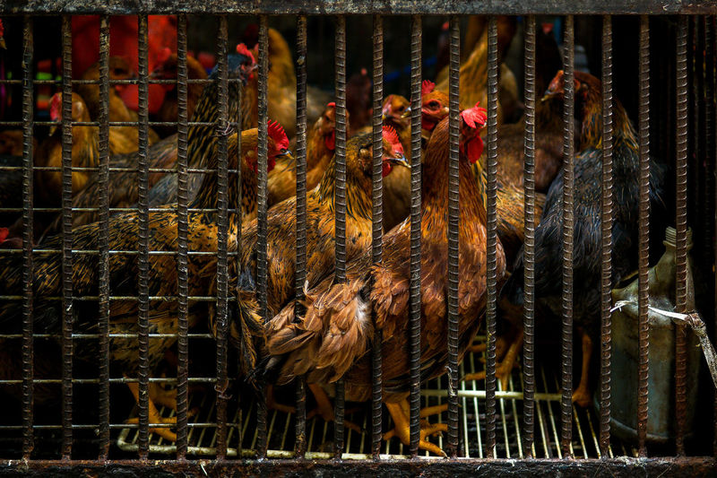 Close-Up Of Roosters In Cage