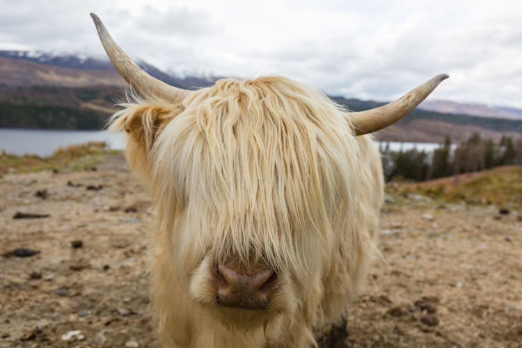 Animal Hair Animal Themes Animals Bestoftheday Canon Canon5Dmk3 Canonphotography Colors EyeEm Best Shots Face Field Hairy  Highland Cow Let Your Hair Down Livestock Nature Nature Photography Nature_collection Outdoors Photooftheday Picoftheday Portrait Scotland Skye The Great Outdoors With Adobe