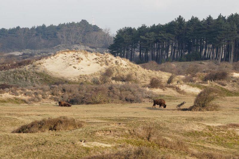 Spot the rabbit... European Bison Wisent Dunes Of Holland Tree Plant Mammal Animal Themes Animal Land Field Landscape