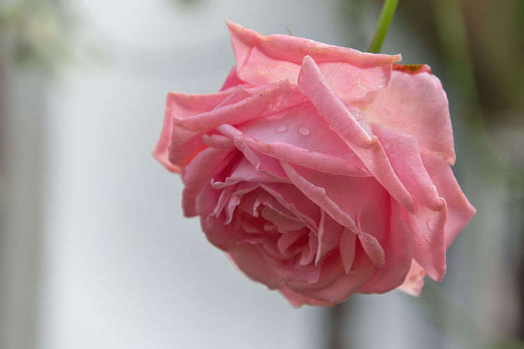 Close-up of raindrops on pink rose