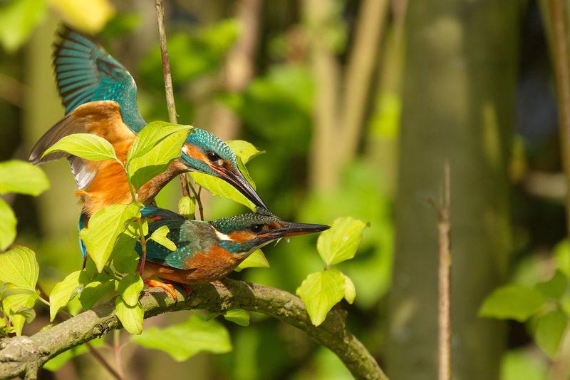 Animal Wildlife Beauty In Nature Bird Photography Close-up Ijsvogel Ijsvogels Kingfisher Mating Kingfishers Wildlife