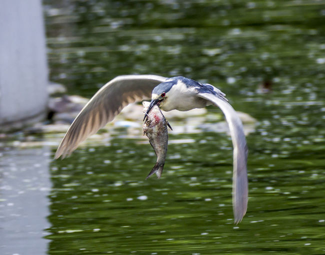 Black-crowned night heron flying while carrying fish in mouth