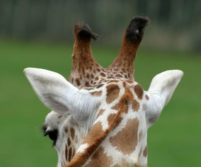 Giraffe Nature