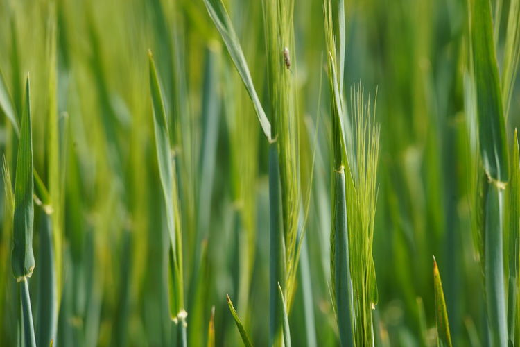 Growth Green Color Plant Agriculture Nature Field Grass Beauty In Nature Crop  Cereal Plant Land Close-up No People Wheat Backgrounds Selective Focus Day Rural Scene Full Frame Farm Outdoors Blade Of Grass