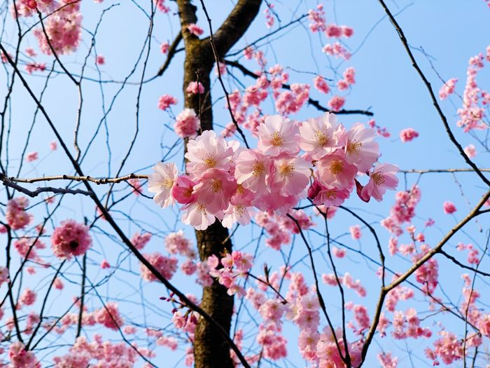 Low Angle View Branch Flowering Plant Plant Freshness Flower Fragility Blossom Tree Vulnerability  Growth Beauty In Nature Springtime Sky Pink Color Nature No People Twig Day Clear Sky