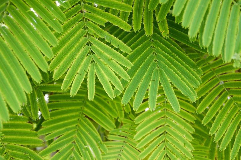 Acacia Cha Om Climbing Wattle Natural Beauty In Nature Close-up Evergreen Foliage Freshness Green Color Growth Healthy Her Leaf Leaves Nature Senegalia Pennata Tree Vegetable