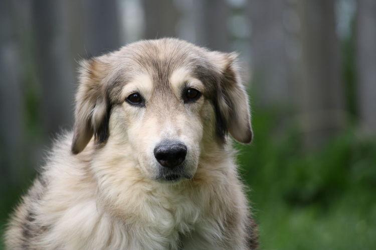 Dog ♡ Dog Dogslife DogLove Husky Huskyphotography Huskymix Labradormix Goldenmix Love Animal Portrait Doghappy Mydog♡ 7yearsold Olddog Catch The Moment