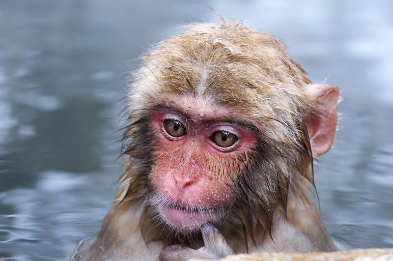 Contemplating life, love, the universe and how cold it is out here! Open Edit Japan Nagano, Japan Monkey Onsen Untold Stories The Adventure Handbook An Eye For Travel