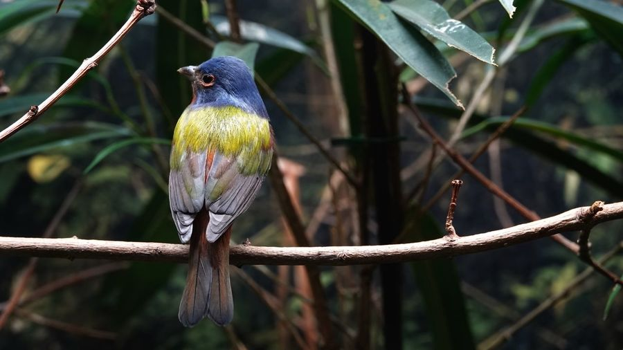 Painted Bunting Birds Of EyeEm  Bird Photography Passerina Ciris Vertebrate Animal Themes Bird Animal Animals In The Wild Animal Wildlife Perching One Animal Nature Beauty In Nature Zoology Focus On Foreground Outdoors Close-up Day No People