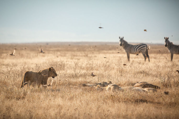 Lioness and zebras on grassy land against clear sky