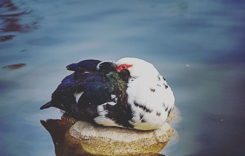Bird Animal Themes Animals In The Wild One Animal Animal Wildlife Nature Water Lake Duck Day Muscovy Duck No People Beauty In Nature Outdoors Perching Swan Close-up
