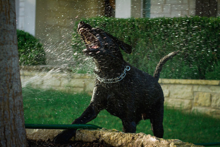 Dog playing with water at yard