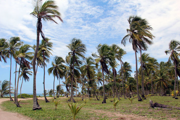 Palm Trees in Bahia Bahia Beach Beauty In Nature Brazil Brazilian Holiday Cloud - Sky Coconuts Day Holiday Humid Landscape Nature No People Outdoors Palm Tree Palm Tree Forests Paradise Sky Travel Tree Tropical Climate Windy