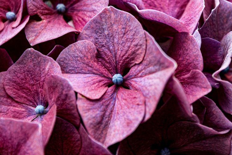 Full frame shot of pink hydrangea