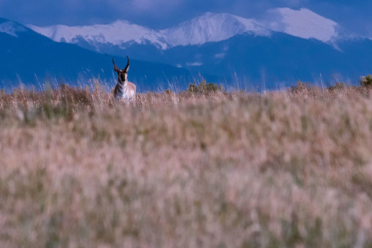 View of antelope in field