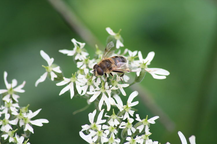 Close-up of wasp on white flower