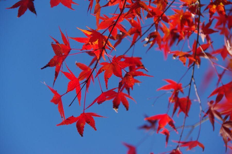 Leaf Autumn 秩父 Pentax K-3 三峯神社