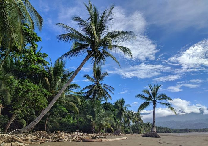 Low tide at Uvita beach Palm Tree Sky Tree Landscape Blue Cloud - Sky Growth Sand Nature Tree Trunk Outdoors No People Beauty In Nature Scenics Day Tree Area Central America Palm Tree Ocean Palm Costa Rica Beach Summer Driftwood Nature
