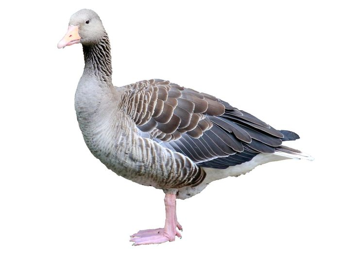Bird Vertebrate Animal Wildlife One Animal Animals In The Wild No People Nature Goose White Background Cut Out Full Length Close-up Copy Space Outdoors Side View Profile View Young Animal