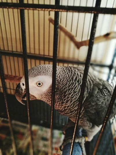 African Grey Parrot Parrot Caged