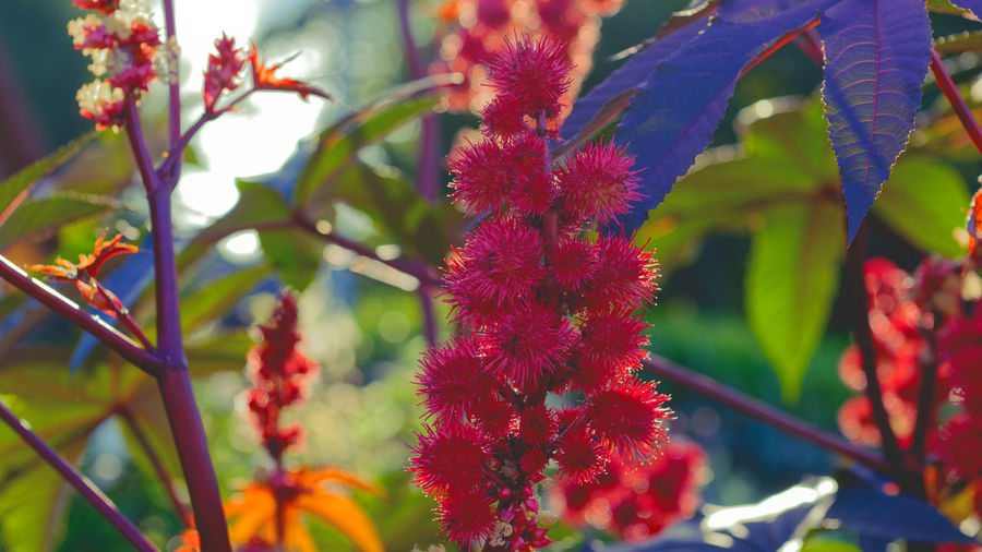 Close-up of red flowering plant