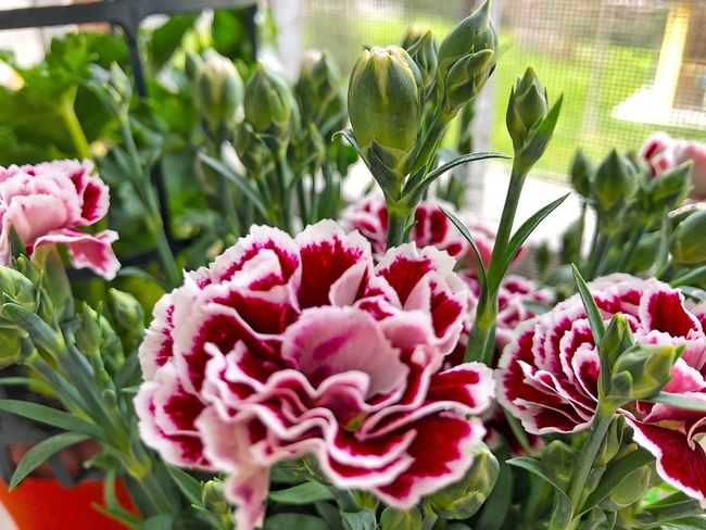 Dianthus Growth Plant Nature No People Beauty In Nature Day Flower Pink Color Outdoors Freshness Close-up Fragility Flower Head