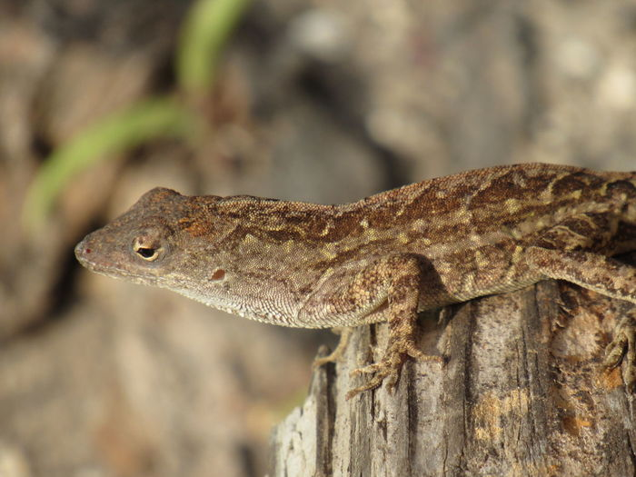 Brown Lizard Amphibian Beauty In Nature Brown And Tan Close-up Focus On Foreground Lizard Natural Pattern Selective Focus Wildlife