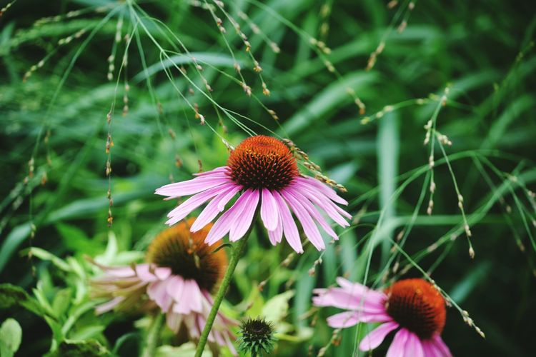 Eastern purple coneflowers blooming outdoors