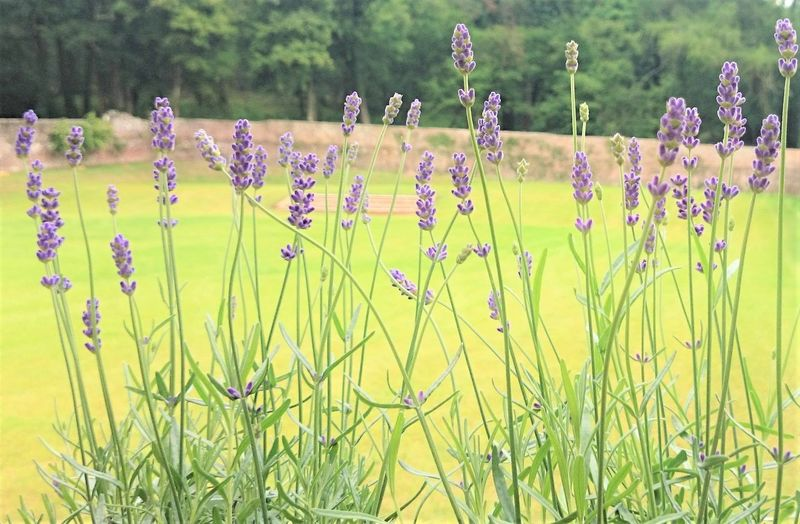 Lavender In The Old Walled Garden Beauty In Nature Blooming Close-up Day Field Flower Flower Head Fragility Freshness Grass Growth Landscape Lavender Lavender Flowers Lavenderflower Nature No People Old Walled Garden Old Walls Outdoors Plant Rural Scene Tranquility Yellow