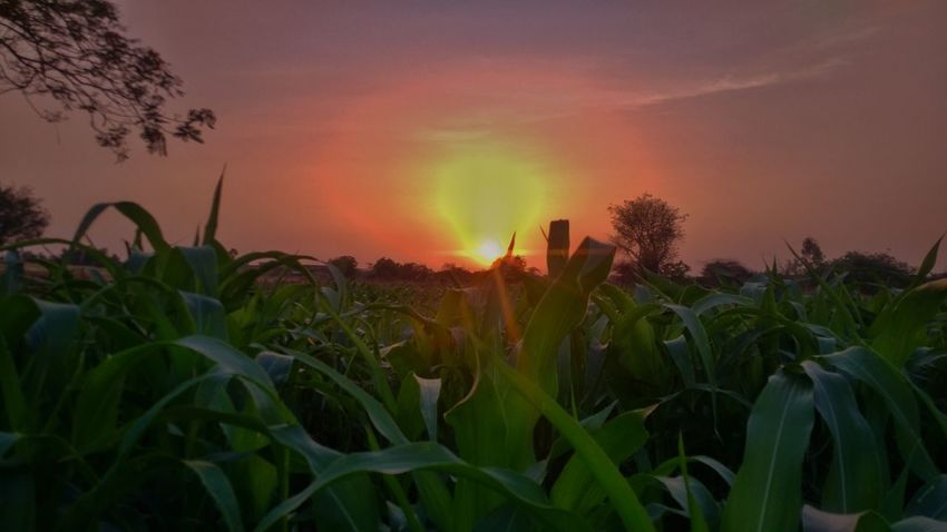 , Tree Sunset Dramatic Sky Nature Field Landscape Accidents And Disasters Rural Scene Agriculture Plant Multi Colored Growth Sky Outdoors No People Beauty In Nature Night Close-up Mobile Photography Blackberry Priv