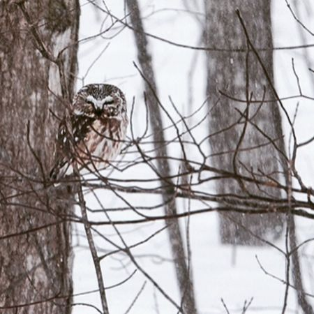 A little surprise during my walk! Barred Owls are usually not as relaxed. This one just dozed on it's perch, not at all bothered by my presence. Winter Daily Walk Canadian Winter Outdoors Owl