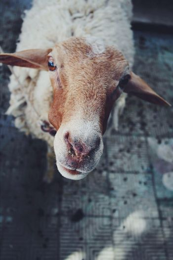 One Animal Animal Themes Domestic Animals Mammal Livestock Looking At Camera Portrait No People Close-up Sheep The Week On EyeEm Beauty In Nature Muslim Aid Celebration Eyes Are Soul Reflection Day Indoors  Pet Portraits