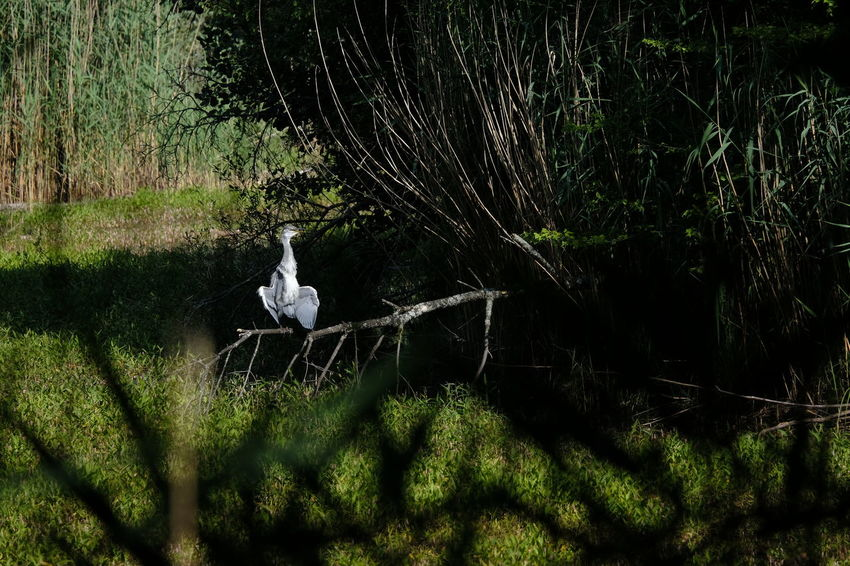 Ardea Cinerea Baden-Württemberg  Forest Pond GERMANY🇩🇪DEUTSCHERLAND@ Sun And Shadow Animals In The Wild Bird Grey Heron  Lake Nature No People One Animal Outdoors Summer Sunbathing Wildlife