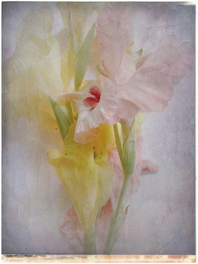 Gladiolus Flowers Blossoms  Still Life