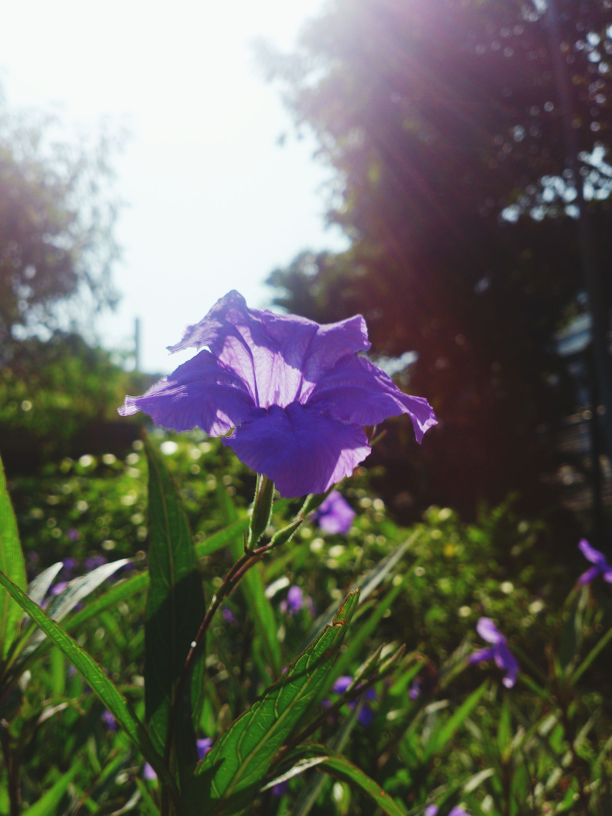 flower, petal, fragility, purple, freshness, growth, flower head, focus on foreground, beauty in nature, blooming, close-up, nature, plant, leaf, in bloom, blue, blossom, park - man made space, day, single flower