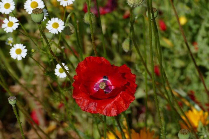 My Garden My Garden @my Home Flowers,Plants & Garden Flowers Poppy Red Flower Collection Flowers, Nature And Beauty LUMIX DMC FZ1000