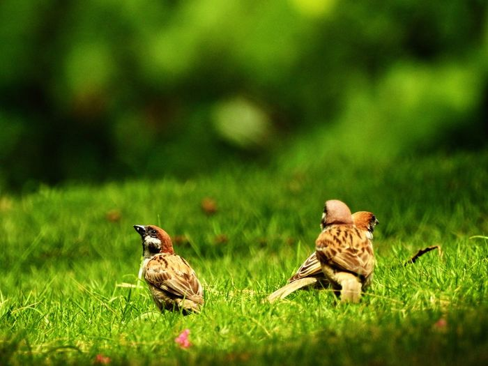 Close-up of sparrows on grass