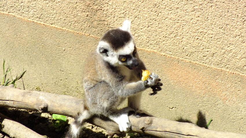 Animal Animal Themes Cute Fruits Hungary Lemur Monkey Nature Nature Nature Photography Nature_collection Nyiregyhazazoo Outdoors Wildlife Wildlife & Nature Wildlife Photography Young Animal