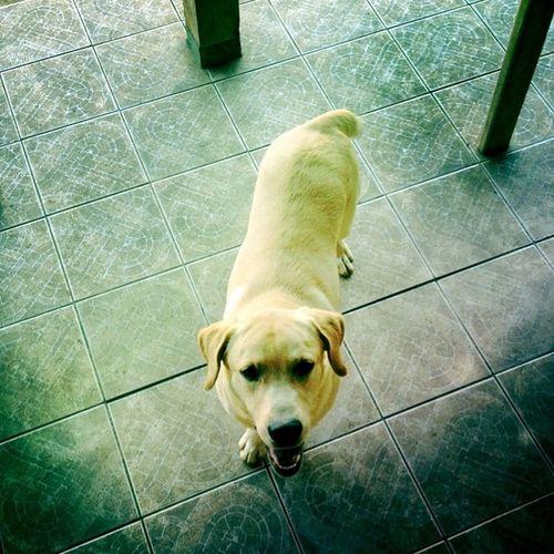 Oi eu sou o Bolt e quero brincar 🐕 Dog Labrador Lovedog Hipstamatic Hipstamaticphoto Photo Analogic