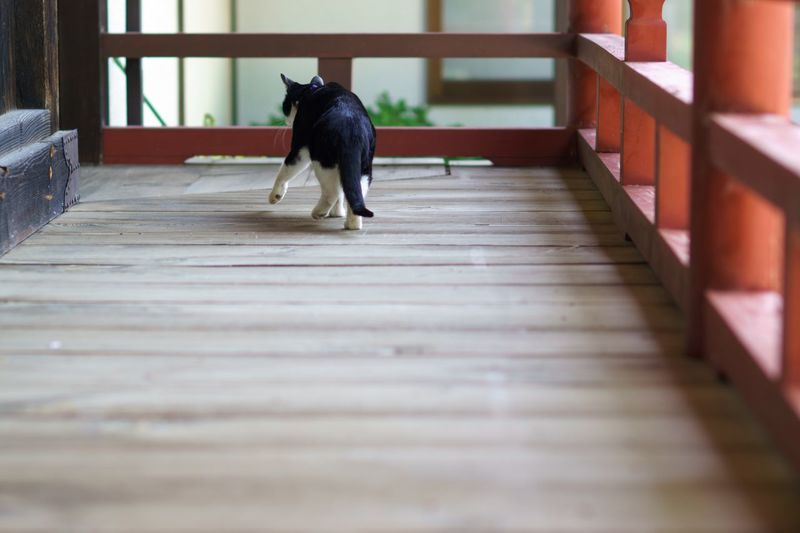 Cat Cats Of EyeEm Temple Japanese Temple Black And White Cat Spring Time Sony Sony α♡Love