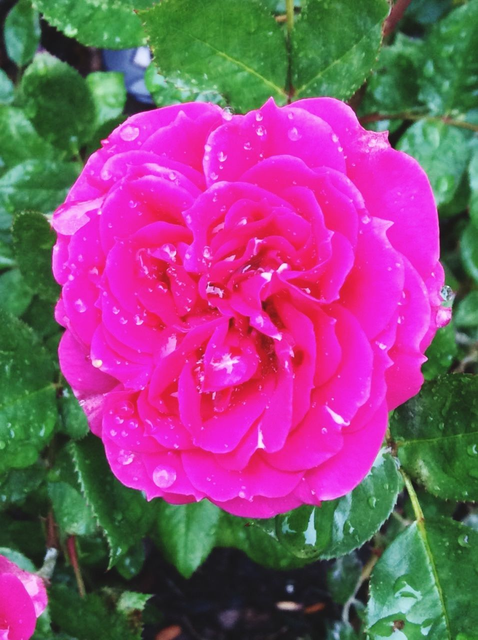 flower, petal, nature, beauty in nature, growth, drop, plant, water, wet, fragility, freshness, no people, flower head, outdoors, day, blooming, close-up, raindrop, leaf, pink color