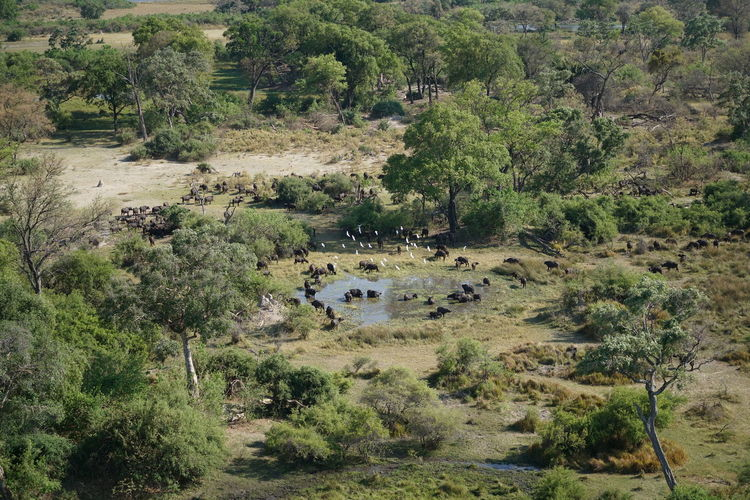 High angle view of cape buffalos on field