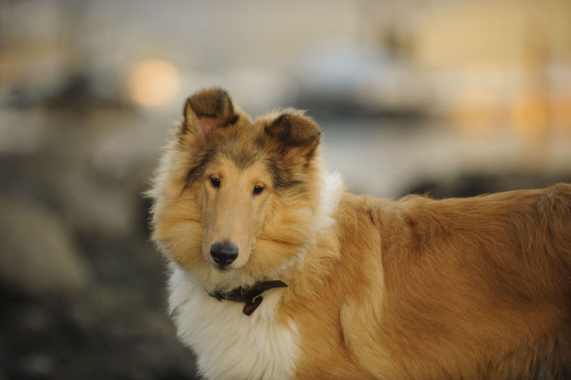 View of contemplative collie dog