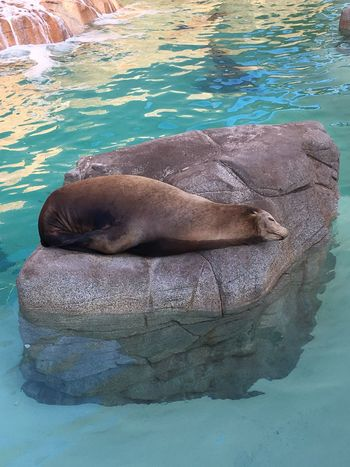 A sleepy seal lion at Sea World from our yesterday adventure Animals In The Wild Water Animal Wildlife One Animal Sea Lion Animal Themes Relaxation Mammal Aquatic Mammal Seal Seal - Animal Sleeping Sea Life Nature No People Day Swimming Sea Outdoors Beauty In Nature Seaworld San Diego Sealion