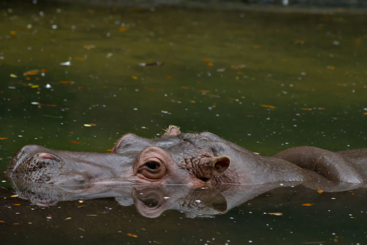 Animal Body Part Animal Head  Animal Themes Hippo Nature Side View Water Wildlife