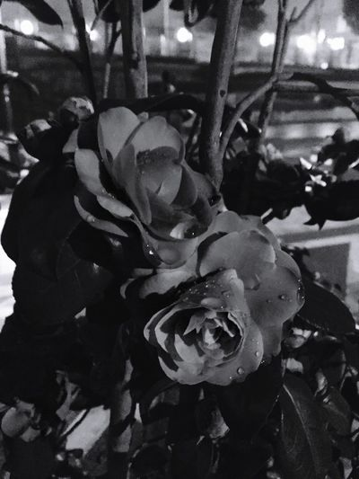 Camellia japonica Blackandwhite From My Point Of View Blackandwhite Photography Light And Shadow Flowers